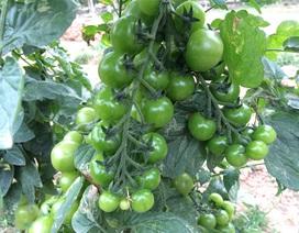 Lão nông thu tiền tỷ mỗi năm từ bán cây giống dưa chuột, cà chua