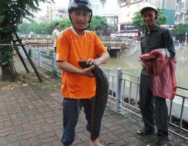 """Hà Nội: Tranh thủ bắt cá """"khủng"""" trên sông Kim Ngưu sau mưa lớn"""