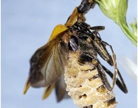 Kỳ lạ loài nấm biến bọ cánh cứng thành… Zombie