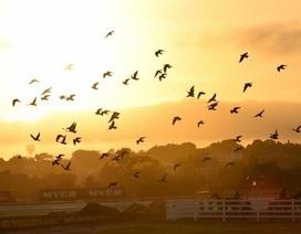 Loài chim bồ câu đi từ năm tỷ con đến tuyệt chủng trong vài thập kỷ