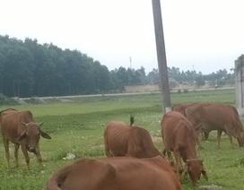 Hàng chục con bò chết chưa rõ nguyên nhân