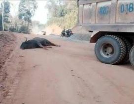 Bò tót quý hiếm tử vong vì húc vào xe tải?