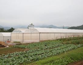 Huyện miền núi lần đầu tiên sản xuất cà chua múi trong nhà kính
