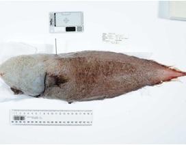 """Kỳ lạ loài """"cá không mặt"""" dưới đáy biển sâu ở Australia"""