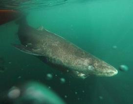 Nghiên cứu cá mập Greenland 392 tuổi nhằm tìm hiểu bí mật trường thọ