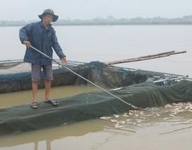 Thủy điện Hòa Bình xả lũ làm chết hàng trăm tấn cá lồng ở sông Đà