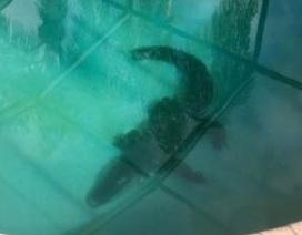 Giật mình khi thấy cá sấu dài 2m nằm giữa... bể bơi gia đình