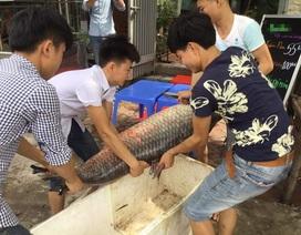"""Ngư dân liên tiếp bắt được cá trắm đen """"khủng"""" ở Yên Bái"""