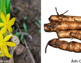 Cách phân biệt Sâm cau để tránh nhẫm lẫn với các loại rễ cây dại