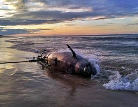Cá heo 350kg chết dạt vào bờ biển Thừa Thiên Huế