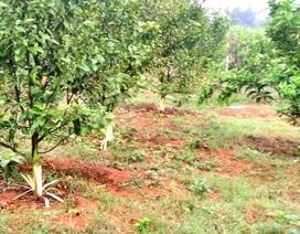 Hơn 100 cây cam sắp cho thu hoạch bị kẻ xấu cạo sạch vỏ