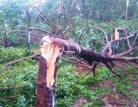 """Cao su bị ảnh hưởng nặng sau bão, cần giải pháp quy hoạch hợp lý cây """"vàng trắng""""!"""