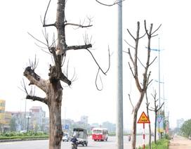 Hàng loạt cây xanh trên vỉa hè Hà Nội chết khô