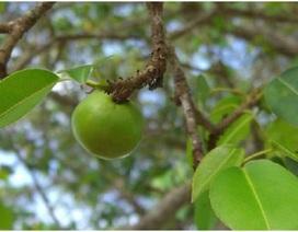 Tìm hiểu loài cây độc nhất thế giới