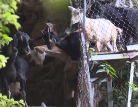 Bắc cầu chăn dê - Ý tưởng nuôi dê độc đáo ở Hòa Bình