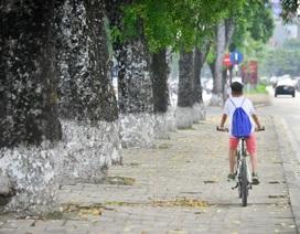 Hàng cây xà cừ cuối cùng trên đường Kim Mã trước ngày đánh chuyển