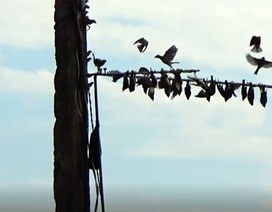 Xót xa nhìn từng đàn chim sẻ bị tận diệt không thương tiếc