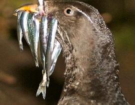 Vi khuẩn kiểm soát mức độ chất ô nhiễm nguy hiểm ở chim biển