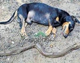 Chú chó dũng cảm chiến đấu với rắn hổ mang để bảo vệ gia đình chủ