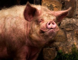Chủ hộ chết tức tưởi vì bị lợn cắn mất của quý