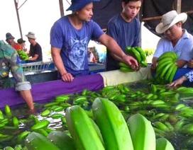 Bầu Đức thu hoạch lứa chuối đầu tiên tại Campuchia