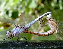 Kỳ thú: Chuồn chuồn cái giả chết để tránh giao phối