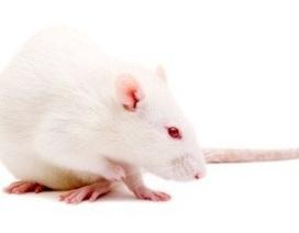 Chuột bị bại liệt có thể đi lại sau khi điều trị tế bào gốc