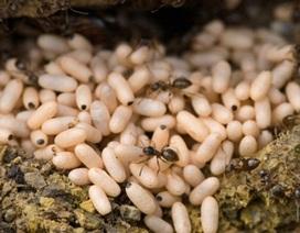Thưởng thức đặc sản trứng kiến vàng ở Hầm Hô