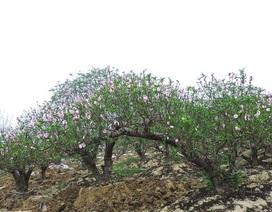 Đào thế trăm triệu bung nở, người trồng đào lo mất tết