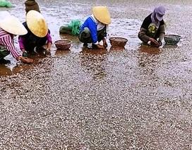 Vụ đổ chất thải xuống biển: Dân bức xúc vì ngao chết bất thường