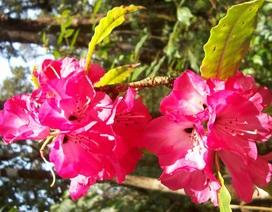 Phát hiện thêm 2 loài hoa Đỗ Quyên trong Vườn quốc gia Hoàng Liên