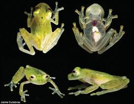 Kinh ngạc loài ếch thủy tinh trong suốt có thể nhìn thấy trái tim đang đập