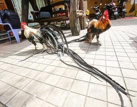 Chi 65 triệu đồng mua cặp gà Nhật đuôi siêu dài về chơi Tết