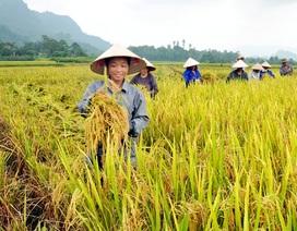 Gạo Việt thua gạo Thái, Campuchia: Do quản lý hành chính nặng nề