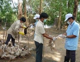 Rầm rộ tiêm phòng dịch gia cầm sau khi 100 con vịt bị chết