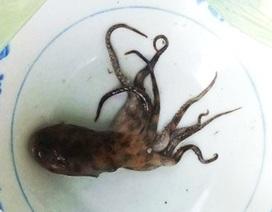 Vụ tử vong do bạch tuộc cắn: Gia đình nạn nhân từ chối xét nghiệm bạch tuộc