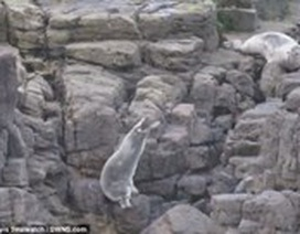 Nhói lòng cảnh hải cẩu lao xuống vách đá để chạy trốn khách du lịch
