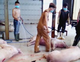 TPHCM: Tiêu hủy khẩn gần 4.000 con heo bị tiêm thuốc an thần