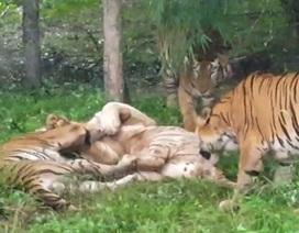 Một con hổ trắng quý hiếm chết sau khi bị đàn hổ Bengal bao vây trong sở thú