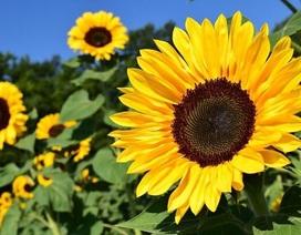 """Học tiếng Anh mỗi ngày: Những lỗi sai hay mắc với từ """"Flower"""""""
