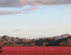 Mưa biến hoang mạc ở Chi-lê thành thiên đường hoa