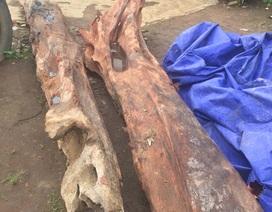 """Cây gỗ trắc quý trị giá hàng trăm triệu bị """"bỏ quên"""" trong lòng đất"""