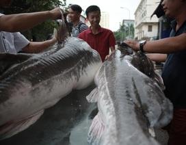 """Cận cảnh cá lăng """"khủng"""" giá 200 triệu đồng ở Hà Nội"""