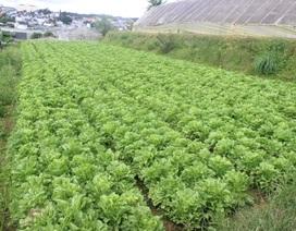 Mưa lớn kéo dài, rau xanh Đà Lạt tăng giá kỷ lục