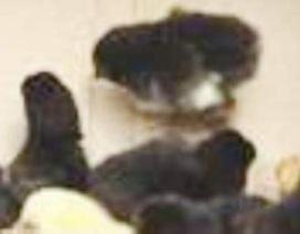 Bạc Liêu: 2.500 con gà chết bất thường