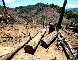 Bắt tạm giam một đối tượng liên quan đến vụ phá rừng trồng keo