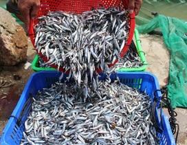 """Ngư dân Nha Trang bội thu cá cơm sau chuyến biển """"chớp nhoáng"""""""