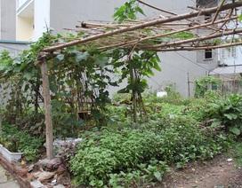 Người Hà Nội trồng rau, nuôi lợn trong... biệt thự hạng sang