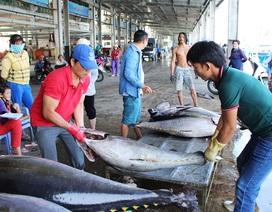 Ngư dân trúng đậm cá ngừ đại dương đầu xuân Đinh Dậu