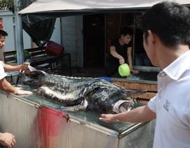 """Cá tầm """"khủng"""" nặng 100kg lên bàn dân nhậu Hà Thành"""